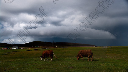 Cows Ward Hill-5177-Edit-a 